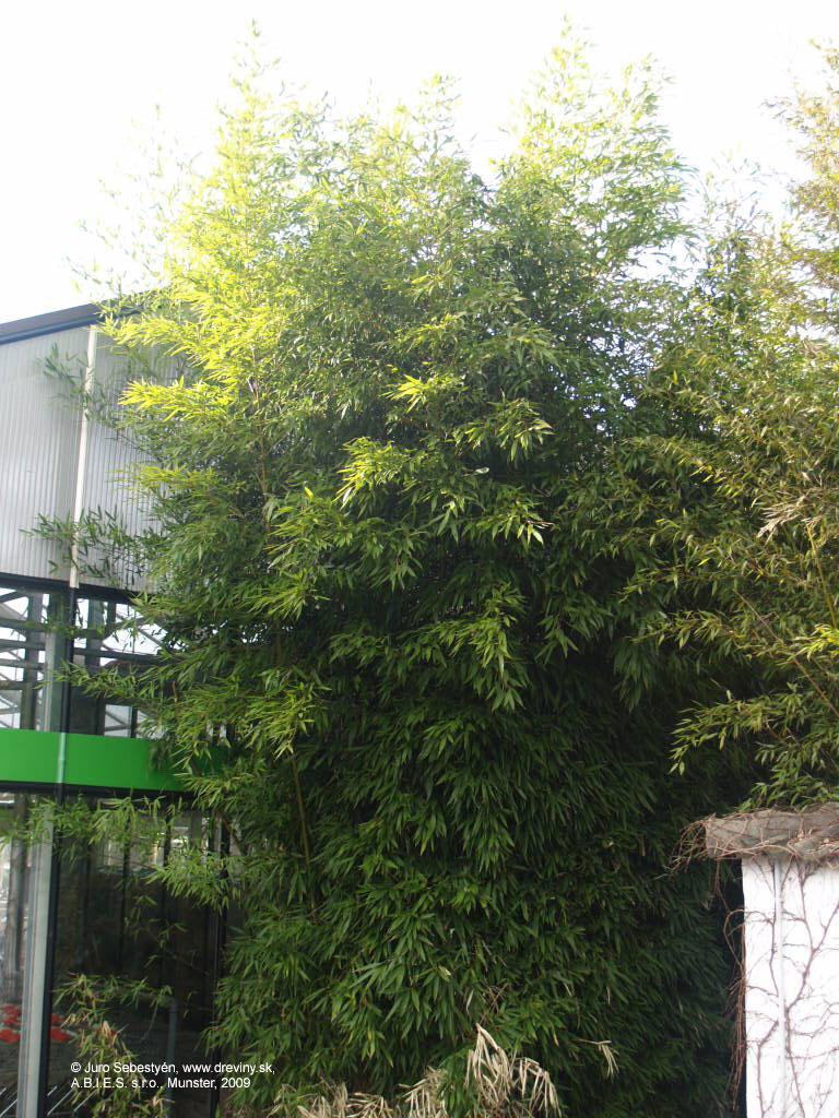 bambus phyllostachys bissetii bisettii bissetti. Black Bedroom Furniture Sets. Home Design Ideas