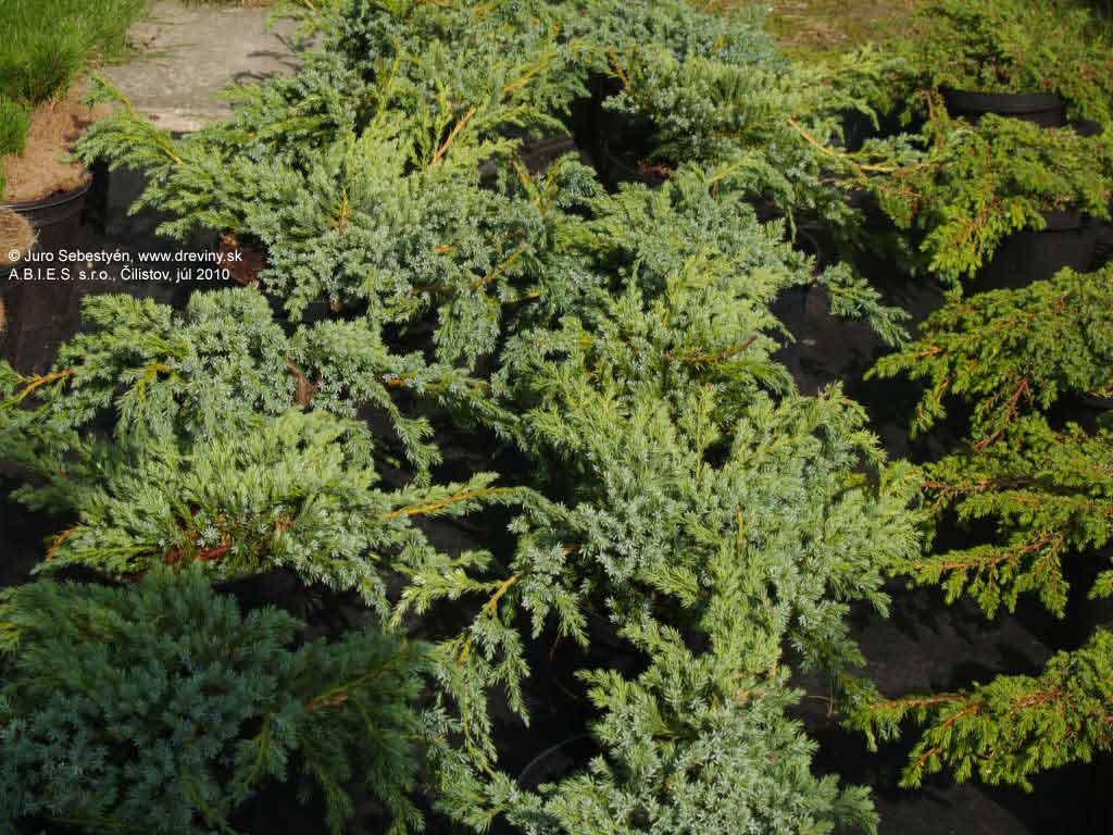 Juniperus Squamata Blue Carpet Cena - Carpet Vidalondon