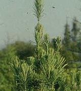 | Patis | Cephalotaxus harringtonia Fastigiata