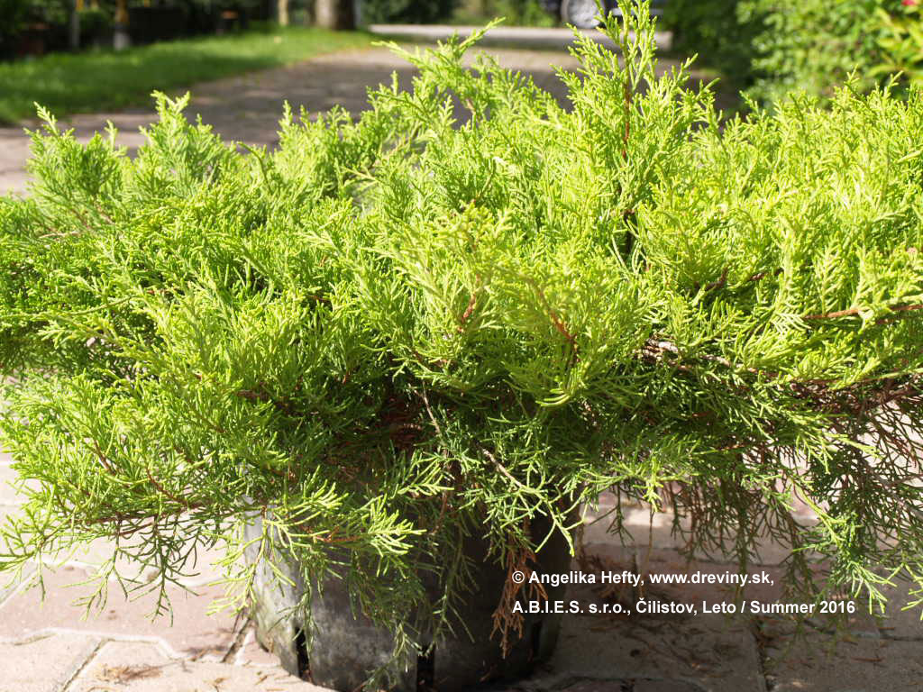 | Borievka pfitzerova Old Gold (Staré Zlato) | Juniperus pfitzeriana Old Gold