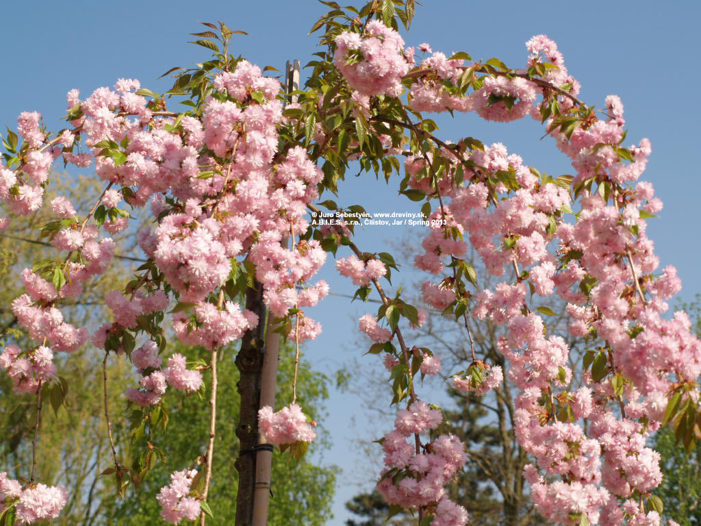 Japanese Flowering Weeping Cherry, Kiku-shidare Flowering Cherry on a 180cm standard (standard´s girth is 8-10cm) | Čerešňa pílkatá Kiku Shidare (previsnutá sakura) | Prunus serrulata Kiku-Shidare-sakura