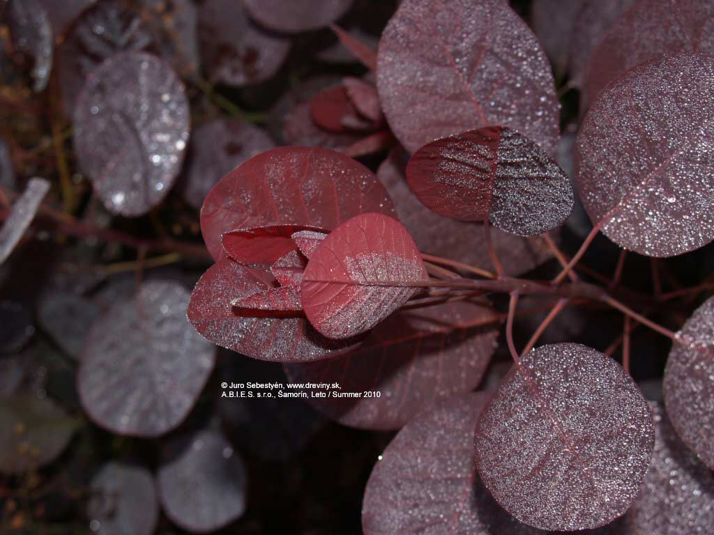 Royal Purple Smoke Tree | Škumpa vlasatá Royal Purple (Kráľovský purpur), červenolistá | Cotinus coggygria Royal Purple