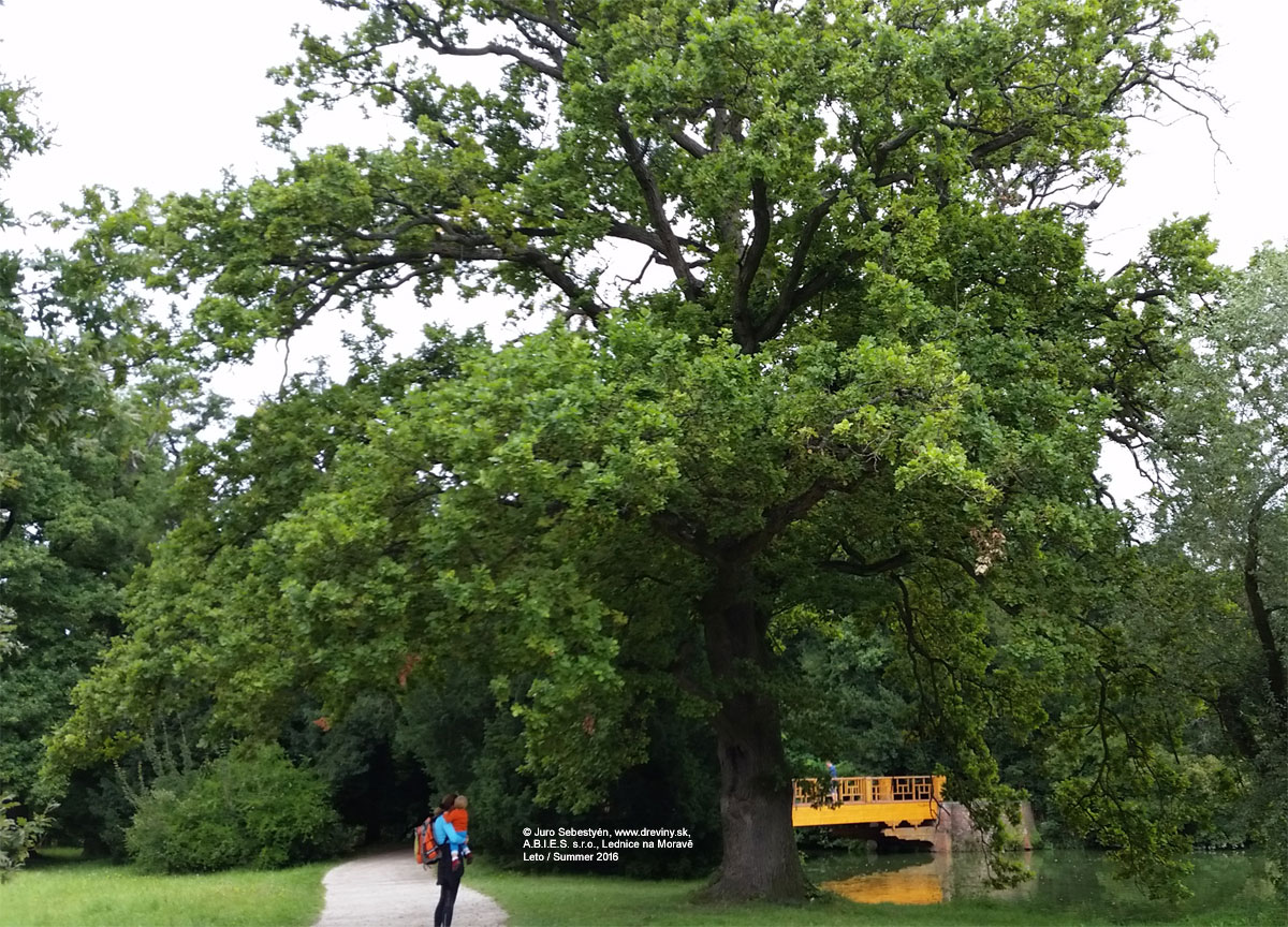 English Oak, Pedunculate Oak, Truffle oak | Dub letný | Quercus robur