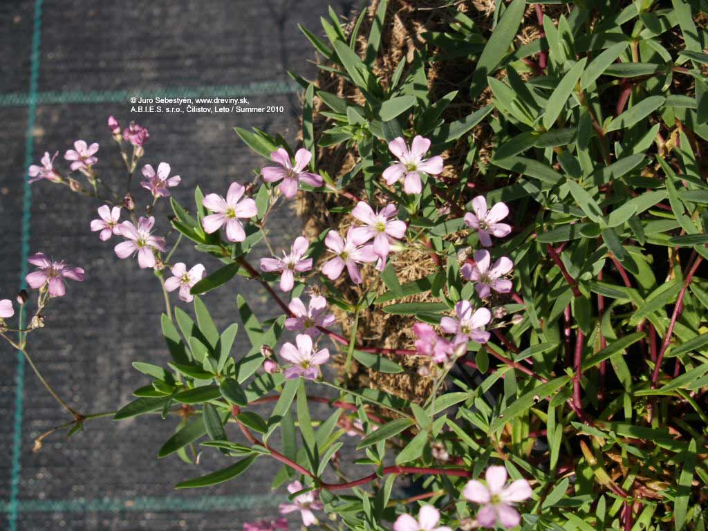 Rosea White Babys�Breath | Gypsomilka plaziv� White (Biela) | Gypsophila repens White