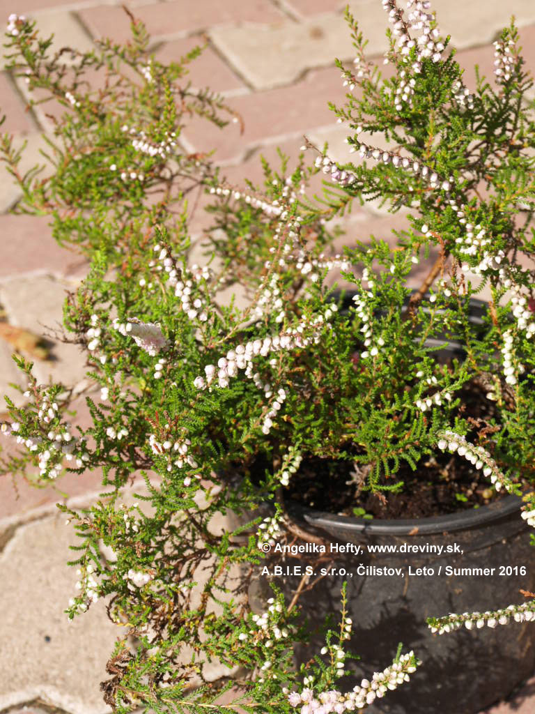 | Vres obyčajný Long White | Calluna vulgaris Long White
